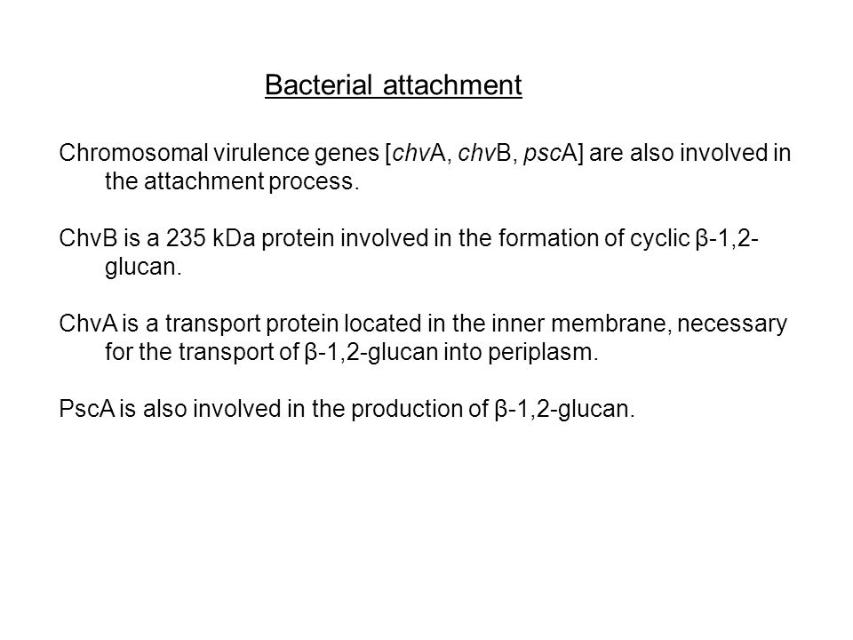 Bacterial attachment Chromosomal virulence genes [chvA, chvB, pscA] are also involved in the attachment process.